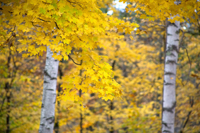 tree, trees, branches, nature, autumn, fall, season, yellow, leaves, bokeh, forest, bark