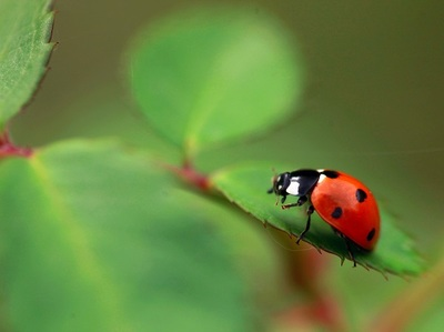 ladybug, animal, insect, plant, leaves, bokeh, nature
