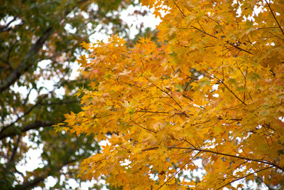 tree, trees, branches, nature, autumn, fall, season, yellow, leaves