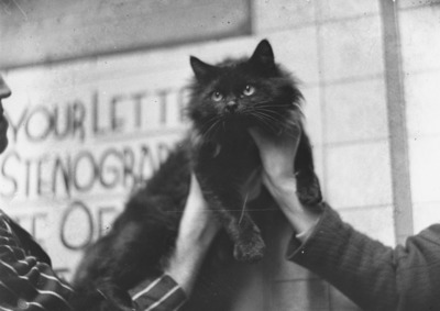 cat, feline, animal, pet, whiskers, black, white, old, male, hands
