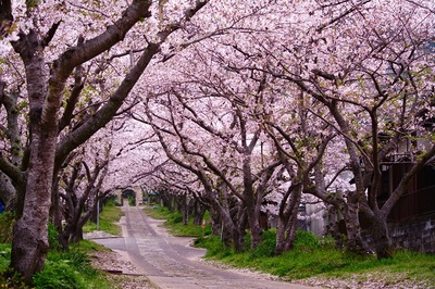 cherry, blossom, trees, nature, pink, branches, walkway, park, bark, flowers