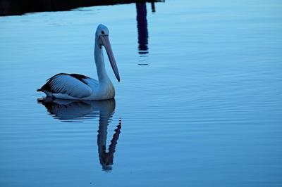 lake, water, pond, pelican, bird, beak, reflection, feathers, animal
