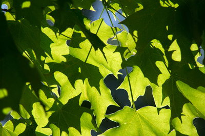 tree, nature, branches, leaves, shadows, leaf, green, spring, sunlight