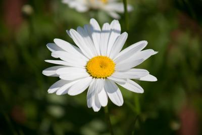 flower, green, blossom, flora, leaves, nature, macro, bokeh, daisy, petals