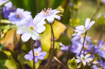 purple, flowers, nature, plants, botany, spring, blossom, bokeh, flora