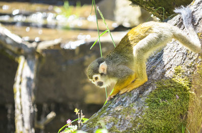 monkey, animal, primates, tree, moss, bokeh, zoo