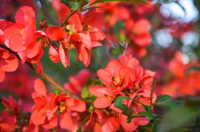 red, flowers, petals, flora, plants, bokeh, botany, nature, blossom