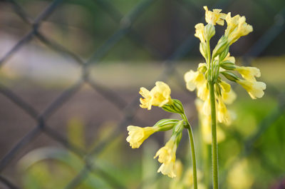 yellow, flowers, petals, plants, nature, flora, blossom, bokeh, fence