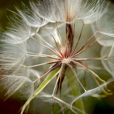 dandelion, flower, flora, nature, macro, bokeh, petals, botany, stems