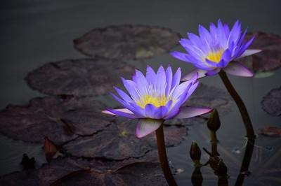 purple, flowers, nature, plants, botany, spring, blossom, flora, lotus, pond