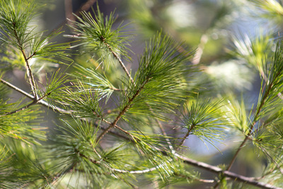 tree, branches, conifer, nature, bokeh, green, closeup, trees