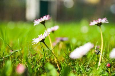pink, flowers, petals, flora, blossom, plants, bokeh, botany, nature, meadow, grass