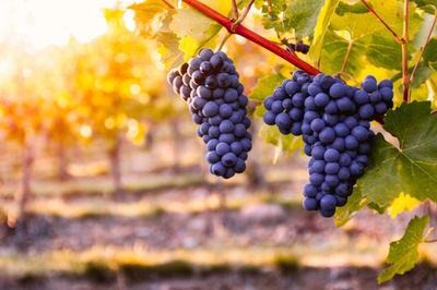 grape, grapes, fruits, leaves, bokeh, nature, vineyard, winemaking