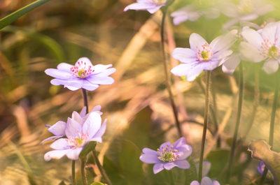 purple, flowers, nature, plants, botany, spring, blossom, bokeh, flora, petals