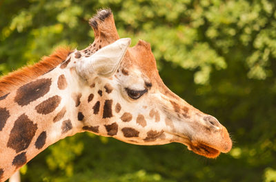 giraffe, animal, zoo, zoology, wildlife, mammal, bokeh
