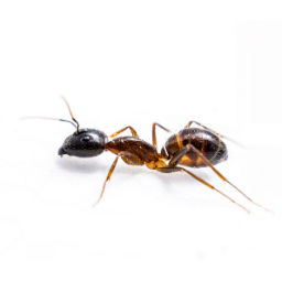Ant Control O'Connor Pest Control Simi Valley