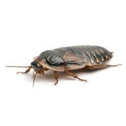 Cockroach Control O'Connor Pest Control Santa Clara