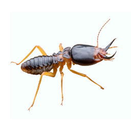 Termite Inspection O'Connor Pets Control Moorpark