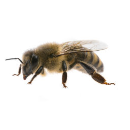 Bee & Wasp Control O'Connor Pest Control Camarillo