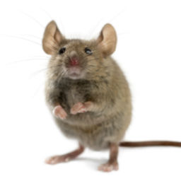 Rat & Mice Control O'Connor Pest Control Ventura