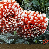 Golden Gate Flower red-white brown thumb