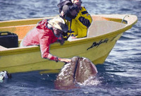 Jean-Michel Cousteau and a gray whale
