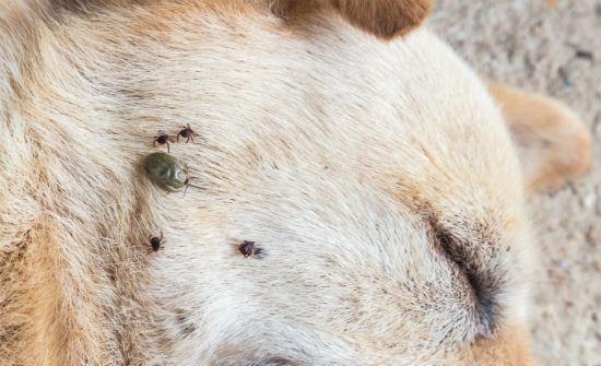 O'Connor Pest Control Flea & Tick Camarillo
