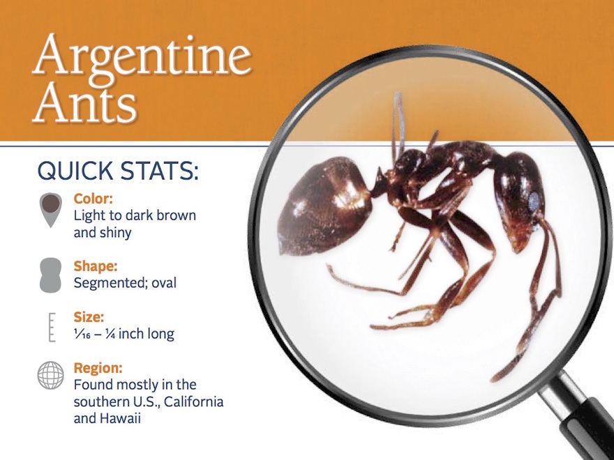 Argentinian Ants Explained for Nipomo Residents