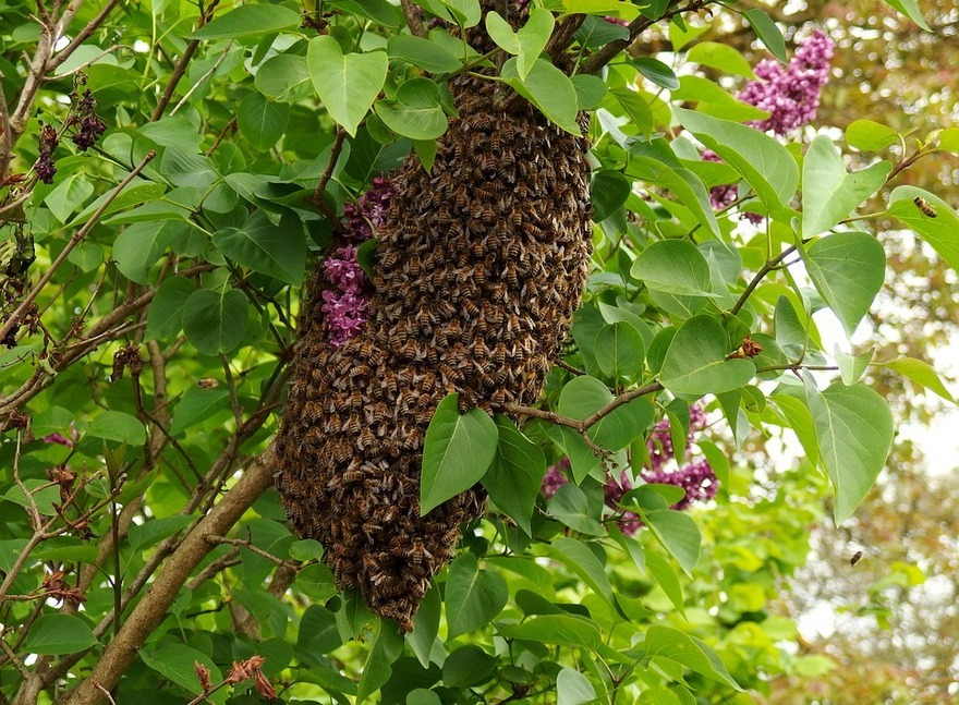 Bee Swarms: A Beginner's Guide-1