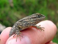 Nipomo Garden Lizards: Pests or Pest Control Experts?