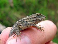 Nipomo Garden Lizards: Pests or Pest Control Experts?