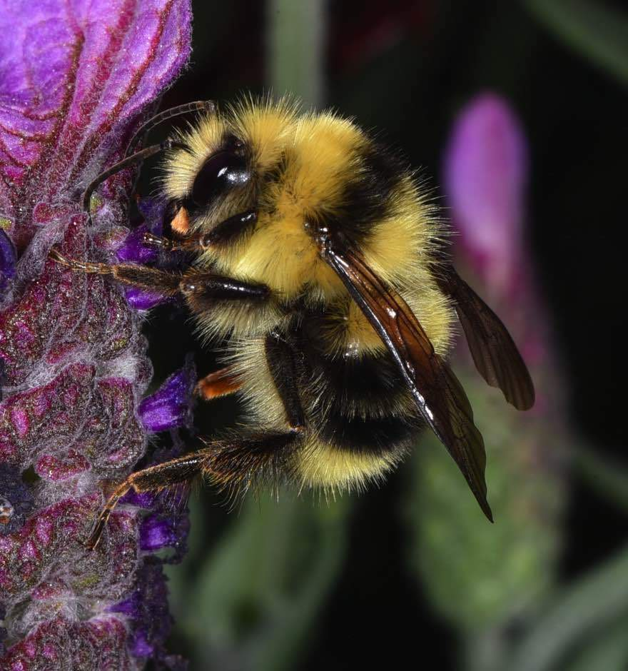 Helping Our Local Bakersfield Pollinators: Native Bombus melanopygus