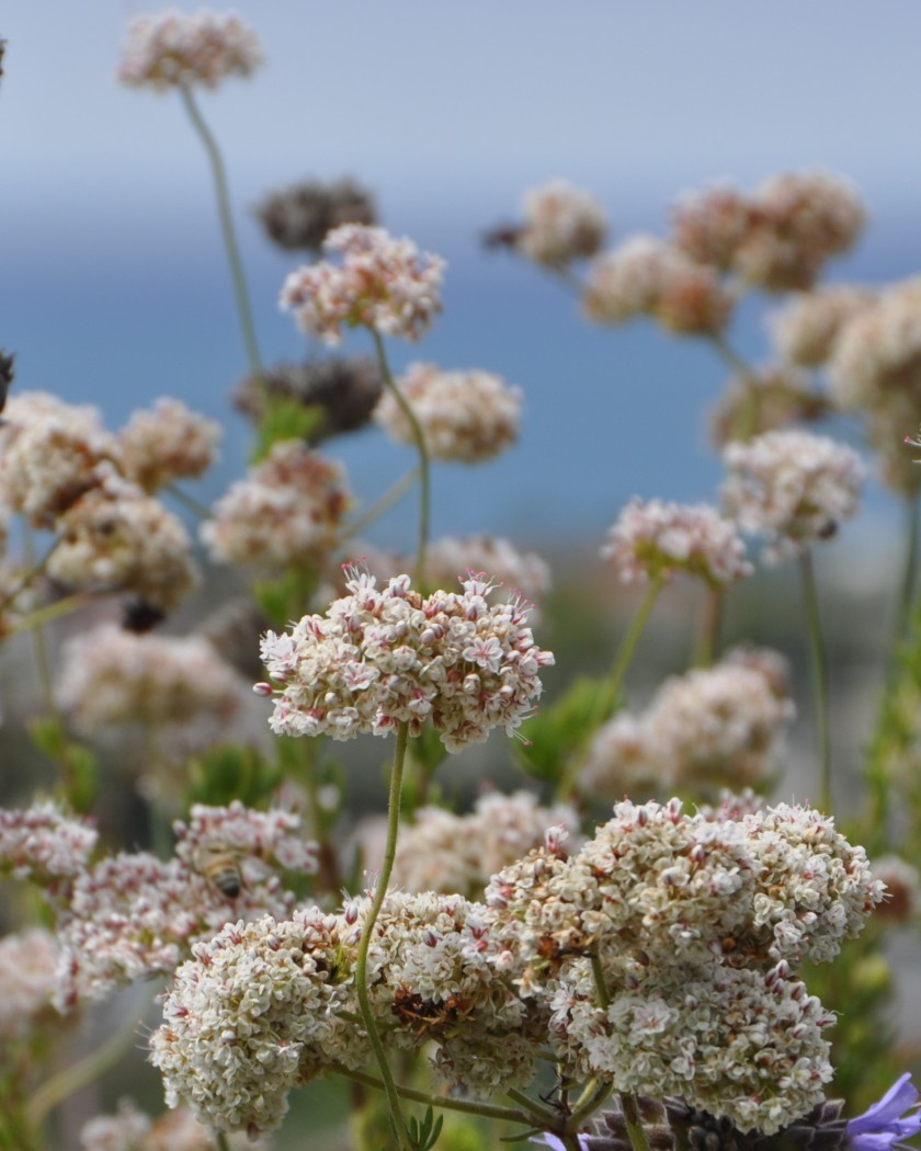 Helping Our Local Bakersfield Pollinators: Native California Buckwheat