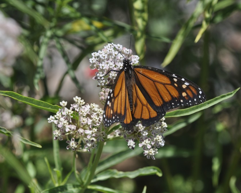 Helping Our Local Bakersfield Pollinators: Native Narrow-leaf Milkweed
