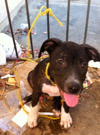 Pit Bull Puppy The ARC of California - 2