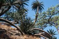 Mexico Botanical Tours - Dioon merolae in Chiapas