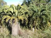 <em>Encephalartos latifrons</em> Eastern Cape Province