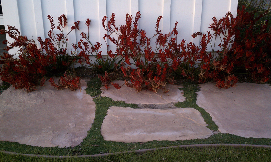 Flagstone Joints Planted with Thymes Dwarf Kangaroo Paws