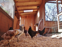 happy chickens residential coop egg layers