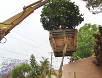 lifting big box orange tree with backhoe crane
