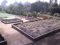 planting veggies corn raised redwood planter boxes beds