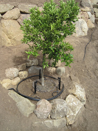 slope fruit tree planting gopher baskets drip irrigation sandstone rings