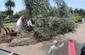 craning planting large olive trees 100 year old