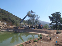 craning olive trees into place