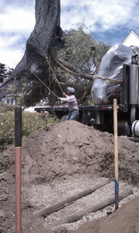 preparing hole with drainage for large olive tree