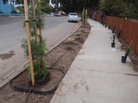 street tree parkway root barrier planting