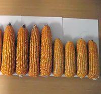 Biochar Corn