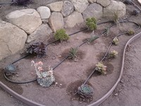 Drip Irrigation Succulents