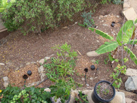 Greywater Mulch Basins