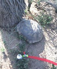 Desert Tortoise Survey
